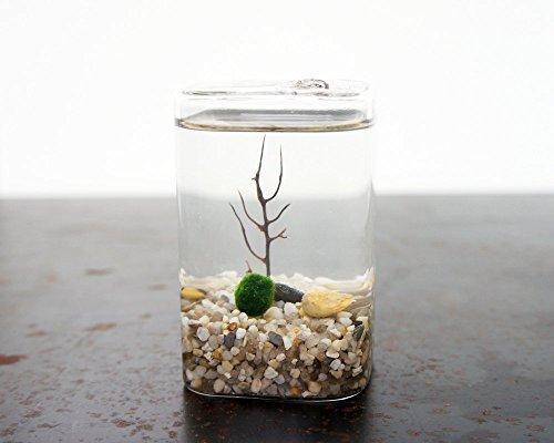 Moss + Twig-Marimo Moss Ball Cube Terrarium